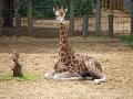 Londoni Állatkert - zsiráf