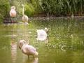 Londoni Állatkert - flamingó