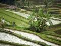 Bali - teraszos rizsföld 02