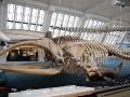 Természettudományi Múzeum csontváz
