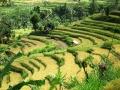Bali - teraszos rizsföld 04